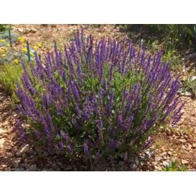 Salvia x sylvestris 'Lubecca' - Sauge des bois violette