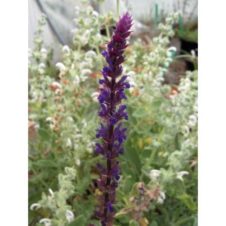 Salvia x sylvestris 'Caradonna' - Sauge des bois noire