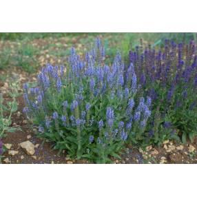 Salvia sylvestris 'Blauhügel' - Sauge des bois