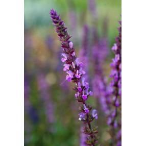 Salvia x sylvestris 'Amethyst' - Sauge des bois rose