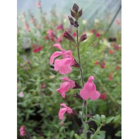 Salvia 'La Siesta' - Sauge arbustive rose