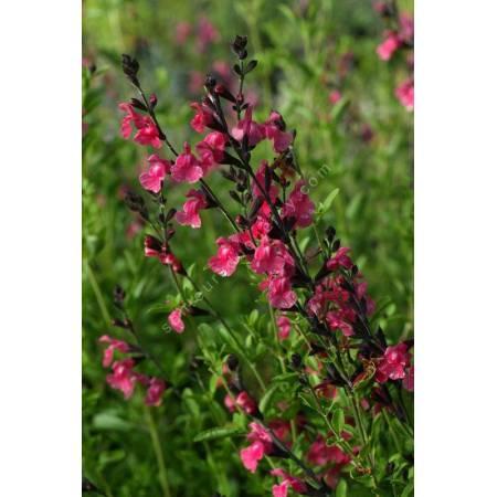 touffe de Salvia 'La Siesta' - Sauge arbustive rose