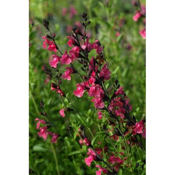 salvia x jamensis 39 la siesta 39 sauge arbustive plante aromatique. Black Bedroom Furniture Sets. Home Design Ideas