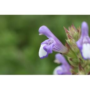 Salvia heldreichiana, Sauge de Heldreich