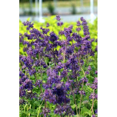 fleur de Salvia verticillata 'Purple Rain' - Sauge verticillée pourpre