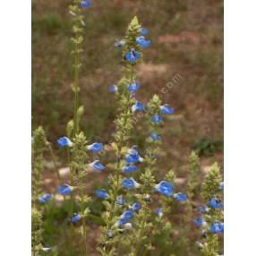 touffe de Salvia uliginosa - Sauge des marais