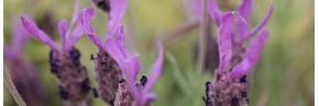 Lavandes - Lavandes botaniques