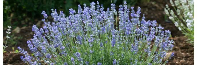 lavandes floraison bleue lavandula en vente arbuste parfum. Black Bedroom Furniture Sets. Home Design Ideas