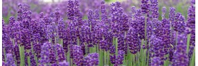 Lavande violet foncé