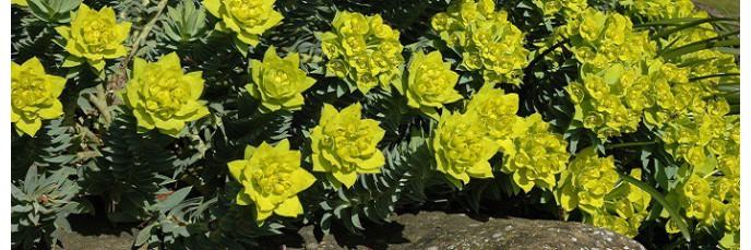 Euphorbia - Euphorbes