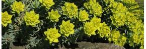 Plantes vivaces - Euphorbia - Euphorbe