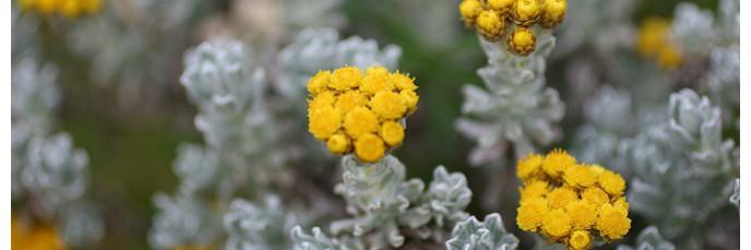 Helichrysum - Hélichryses