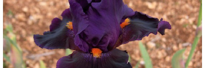 Grands Iris par couleur