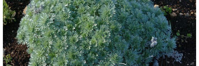 Artemisia - Armoises