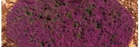 Plantes vivaces - Teucrium - Germandrée