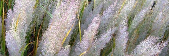 Calamagrostis - Calamagrostide