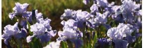 Iris remontants