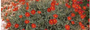 Plantes vivaces - Helianthemum - Hélianthème