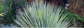 Cactées - Yucca