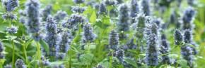 Plantes vivaces - Agastache