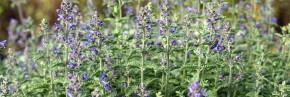 Plantes vivaces - Nepeta - Herbe à chat