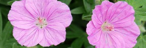 Plantes vivaces - Geranium - Géranium vivace