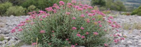 Plantes vivaces - Centranthus - Valériane rouge