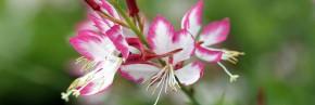 Plantes vivaces - Gaura