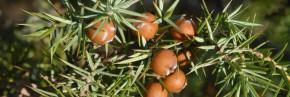 Juniperus - Genévrier