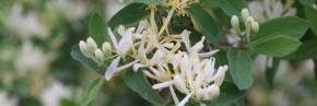 Arbustes - Lonicera - Chèvrefeuille