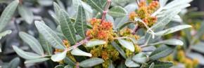 Arbustes - Pistacia - Pistachier