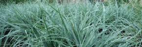 Graminées -  Carex - Laîche
