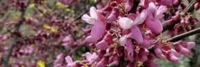 Arbustes - Cercis - Gainier