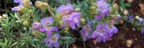 Plantes vivaces - Penstemon - Galane