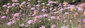 Plantes vivaces - Scabiosa - Lomelosia - Scabieuse