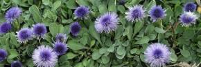 Plantes vivaces - Globularia - Globulaire