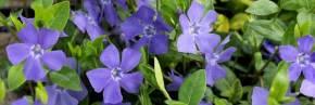 Plantes vivaces - Vinca - Pervenche