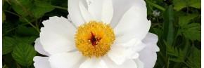 Plantes vivaces - Paeonia - Pivoine