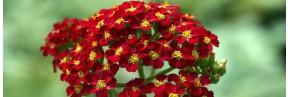 Plantes vivaces - Achillea - Achillée