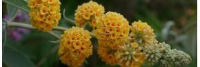 Arbustes - Buddleja - Arbre aux papillons