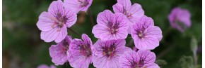 Plantes vivaces - Erodium