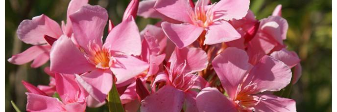 lauriers roses nerium en vente arbuste persistant de haie fleurie. Black Bedroom Furniture Sets. Home Design Ideas