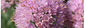 Plantes vivaces - Allium - Ail