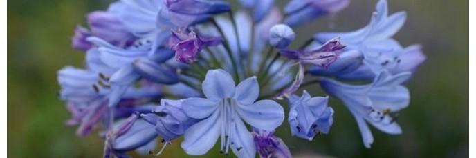plantes vivaces de terrain sec en vente achat pour le massif de fleur. Black Bedroom Furniture Sets. Home Design Ideas