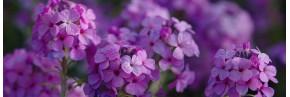 Plantes vivaces - Autres plantes vivaces