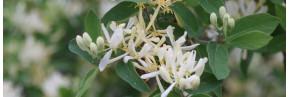 Arbustes - Autres arbustes