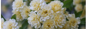 Arbustes - Rosa - Rosier