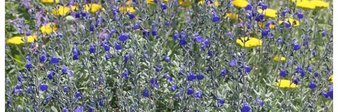Sauges arbustives bleues & violettes