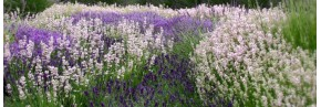 Lavandes - Lavandula angustifolia - Lavande vraie