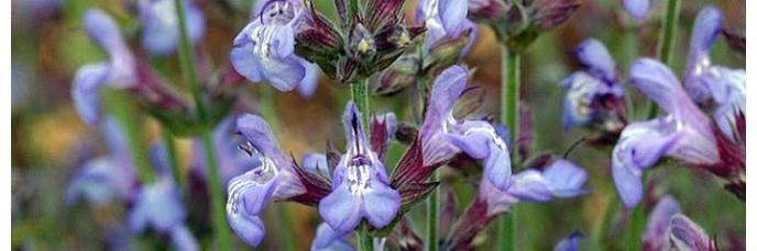 Salvia lavandulifolia, Sauge àfeuille de lavande